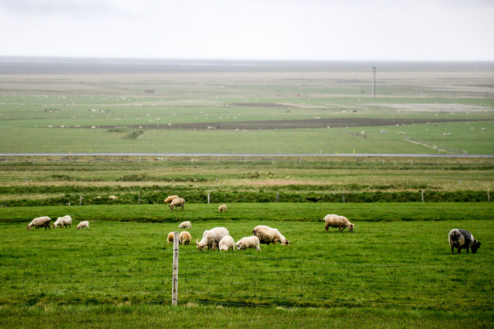 Epic Landscape in Iceland with green grass and sheep 2